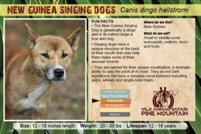 New Guinea Singing Dogs